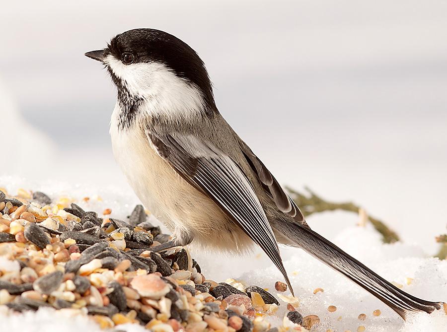 winter bird feeding black-capped chiackadee