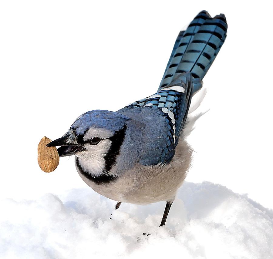 winter bird feeding blue jay with peanut