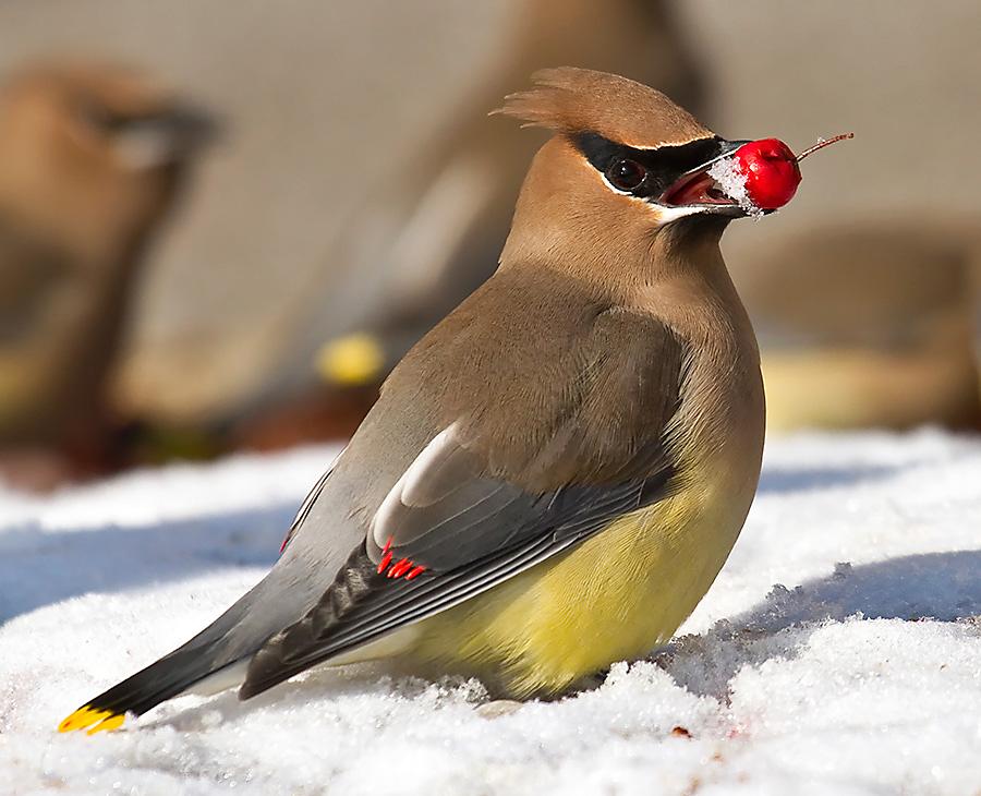 winter bird feeding cedar waxwing