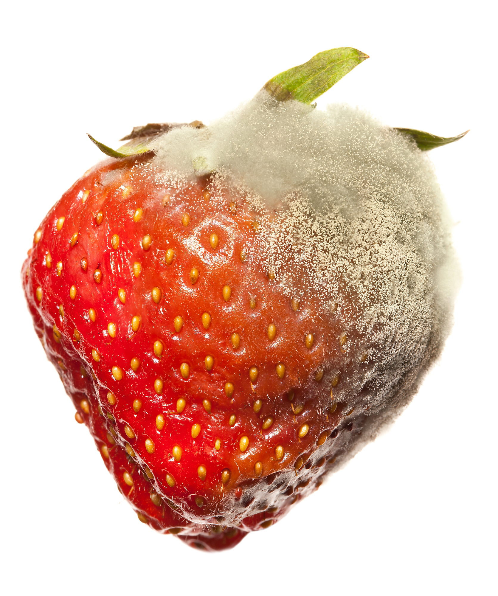 Fungus on a strawberry