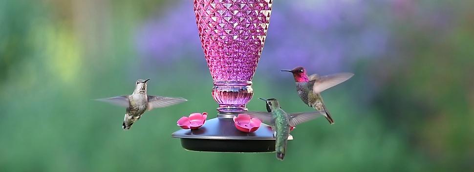 hummingbirds visiting top-fill hummingbird feeder