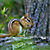 Chipmunk in the wild
