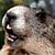 Close up - Groundhog Teeth
