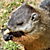 Groundhog Eating