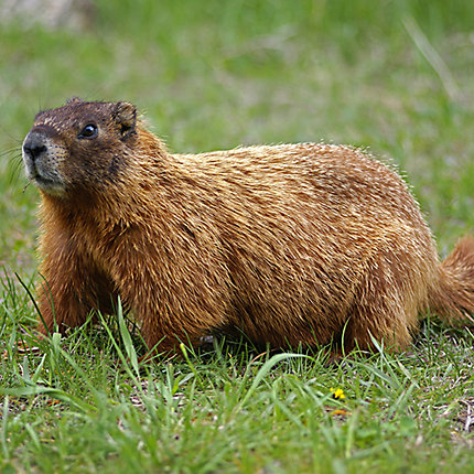 How To Keep Groundhogs Out Of Garden How To Keep Groundhogs Out Of Your Garden