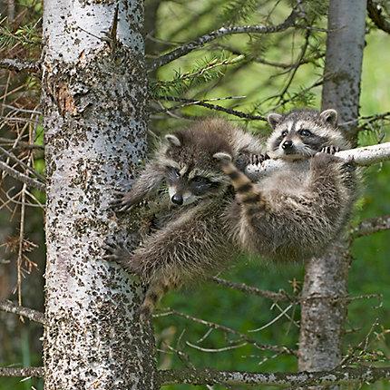 Baits For Raccoons Raccoon Baits Havahart
