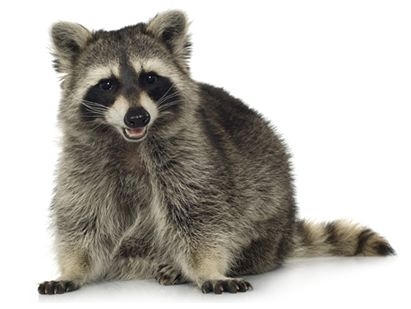 http://s7d2.scene7.com/is/image/woodstream/hh-us-lc-animals-raccoon-facts-1
