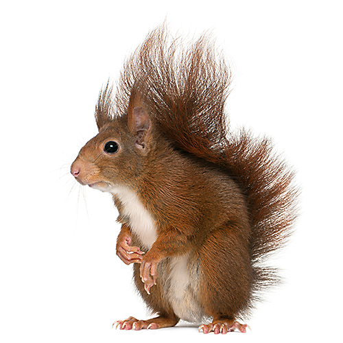 Squirrels are notorious yard nuisance animals