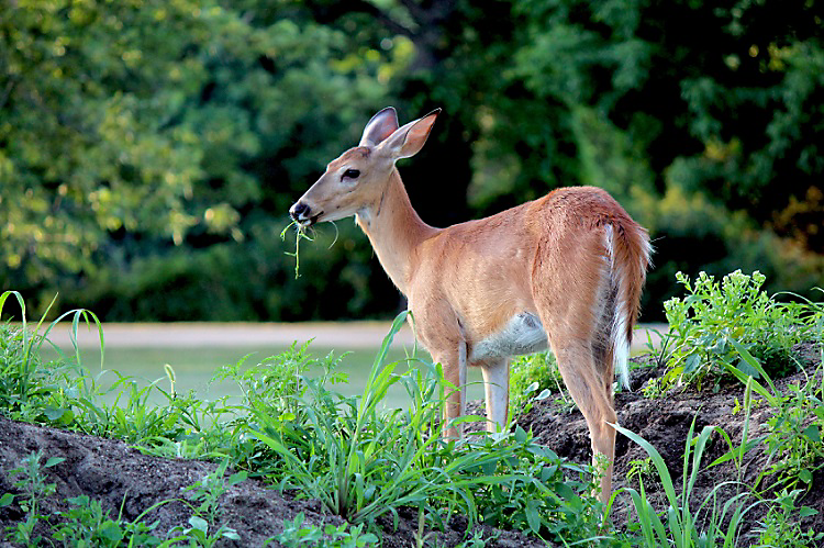 protecting fruit trees from deer