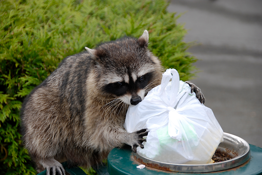 raccoon in trash can