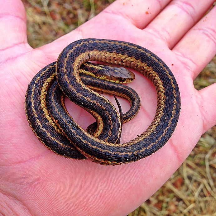 person holding small garter snake