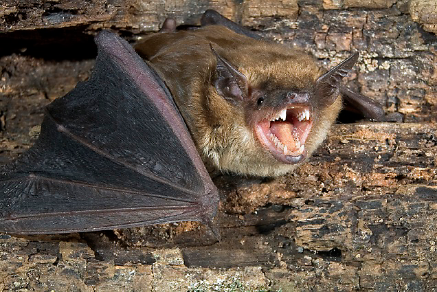 bat with rabies