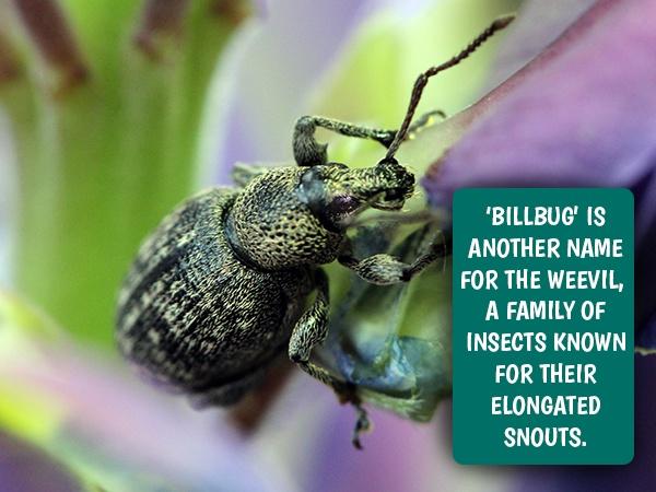 billbugs and weevils