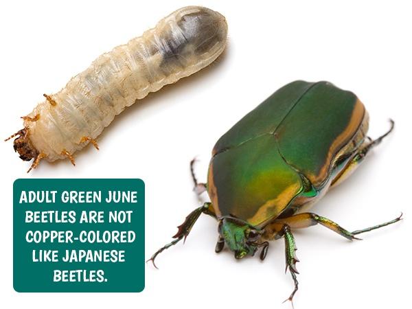 Green June Beetle Grubs
