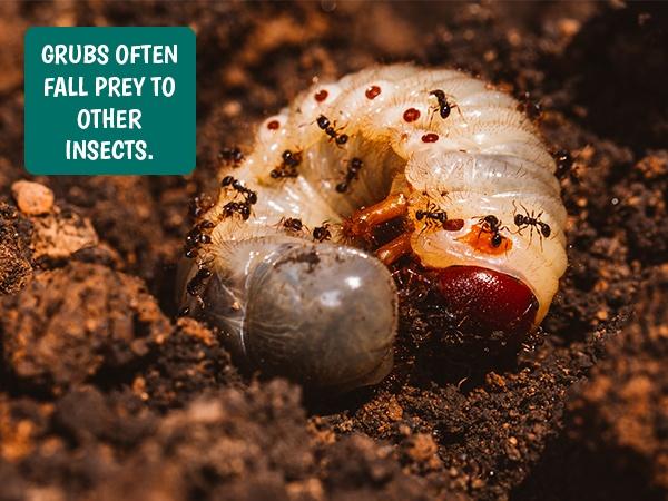 June Bug grubs