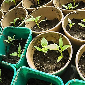 Plant seedlings