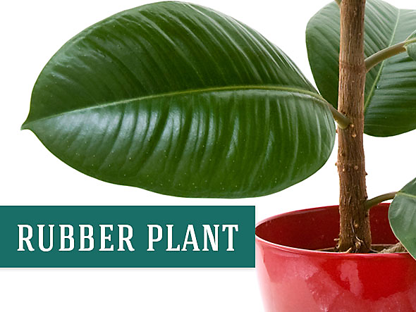 Image of a Rubber Plant