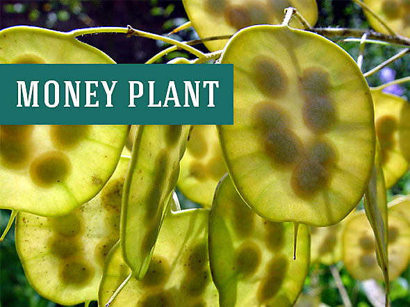What a Money Plant Looks Like - They Make Great Houseplants