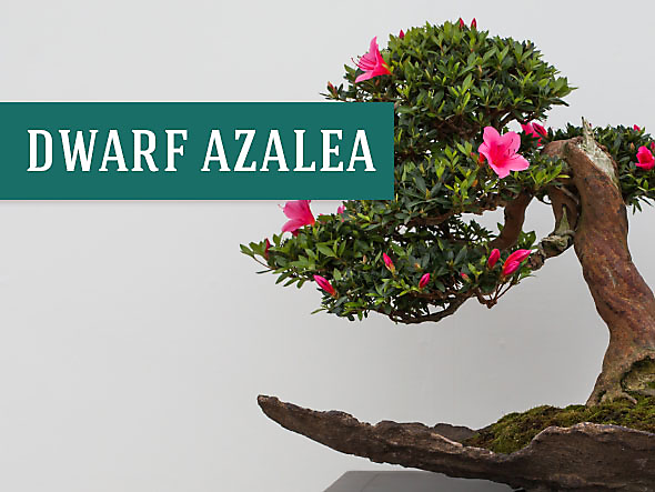 Dwarf Azaleas make perfect indoor plants since they help clean the air