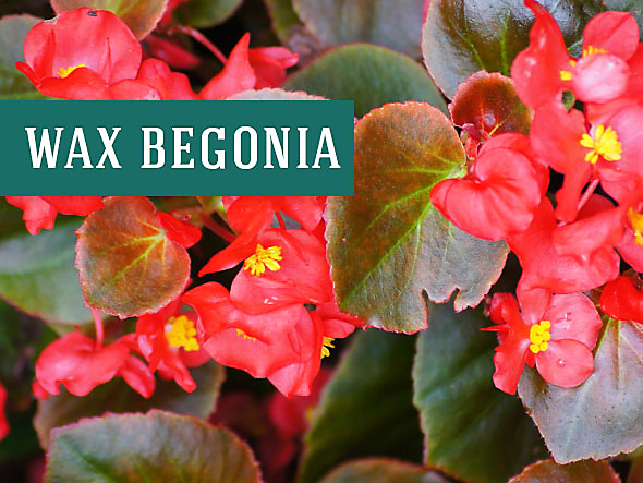 Wax Begonia make great indoor houseplants