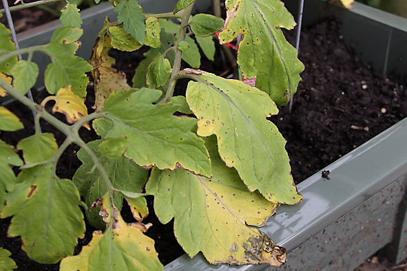 yellow leaves with black spots on tomato plant