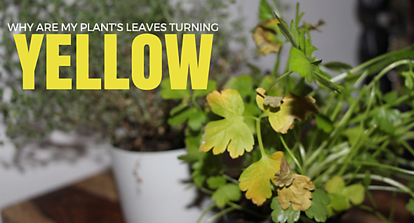 why are my plants turning yellow