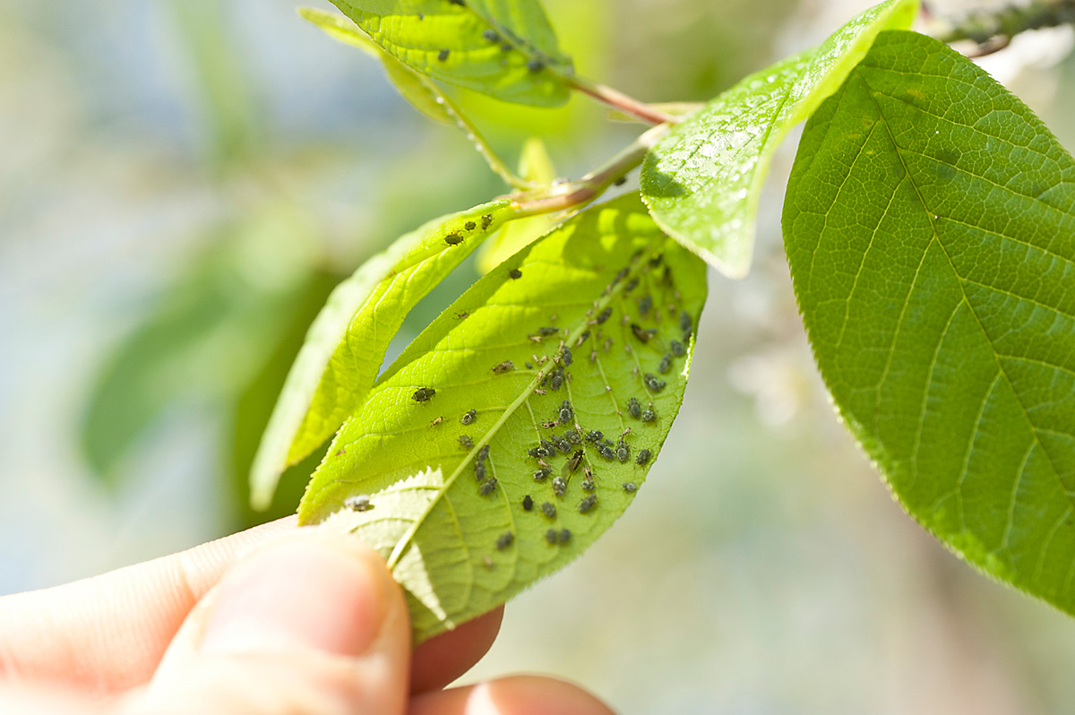 Aphids are a huge problem for vegetable gardeners. These little bugs drain the nutrients from plants, killing the plant in the process.