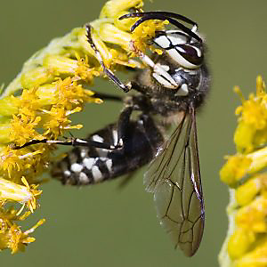 Getting rid of Bald-faced Hornets