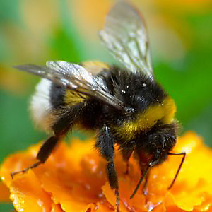 Getting rid of Bumble Bees