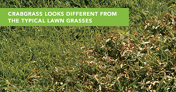 How do you kill crabgrass in lawns?
