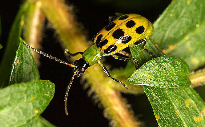 Cucumber beetles come in three main varieties -- the spotted, the striped and the banded. Corn rootworms are cucumber beetle larvae.