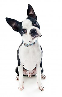 diatomaceous earth for fleas on dogs