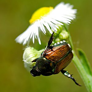 Japanese beetles eat flowers