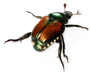 How to get rid of Japanese Beetles