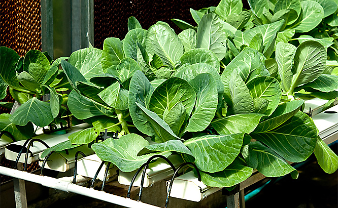 Kale grows well in a hydroponic systems, often becoming available in as little as a  month.