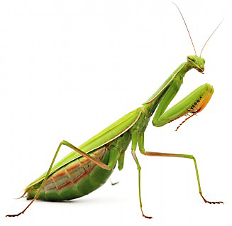 praying_mantis_411056