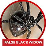 common household spiders - identify false black widow