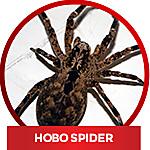common household spiders - Hobo Spider