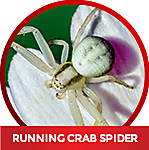 how to kill a running crab spider