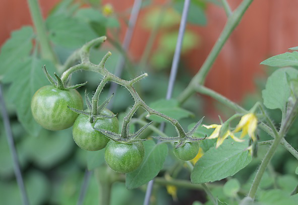 Poor Fruit Set - Why are my tomatoes not growing