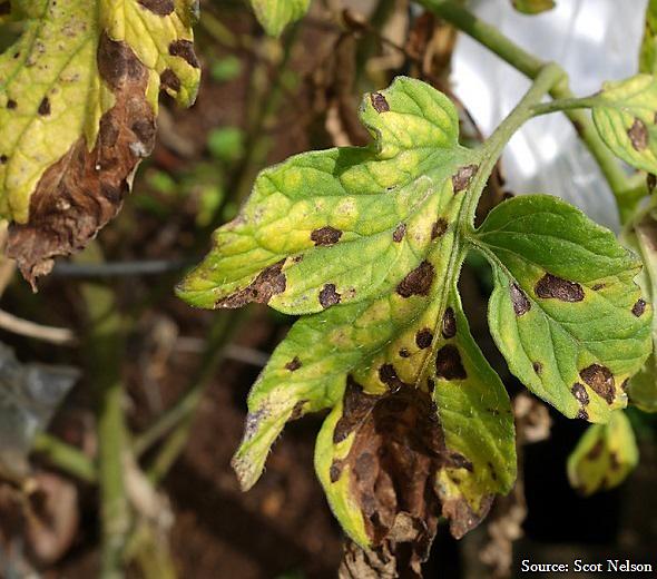 Tomato fungus - Septoria Leaf Spot