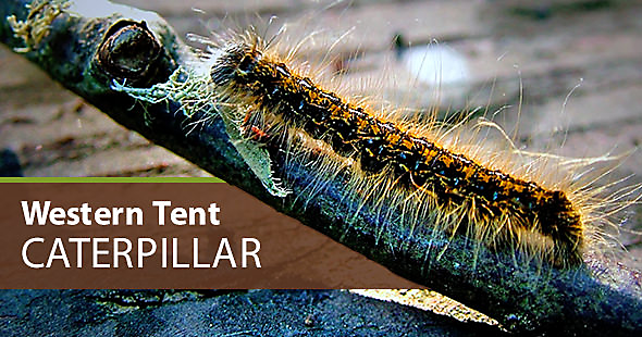 what does a western tenet caterpillar look like. Western tent caterpillars ... & How to Get Rid of Eastern Tent Caterpillars