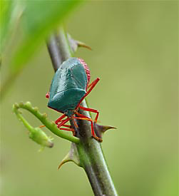 Red-Bordered Stinkbug
