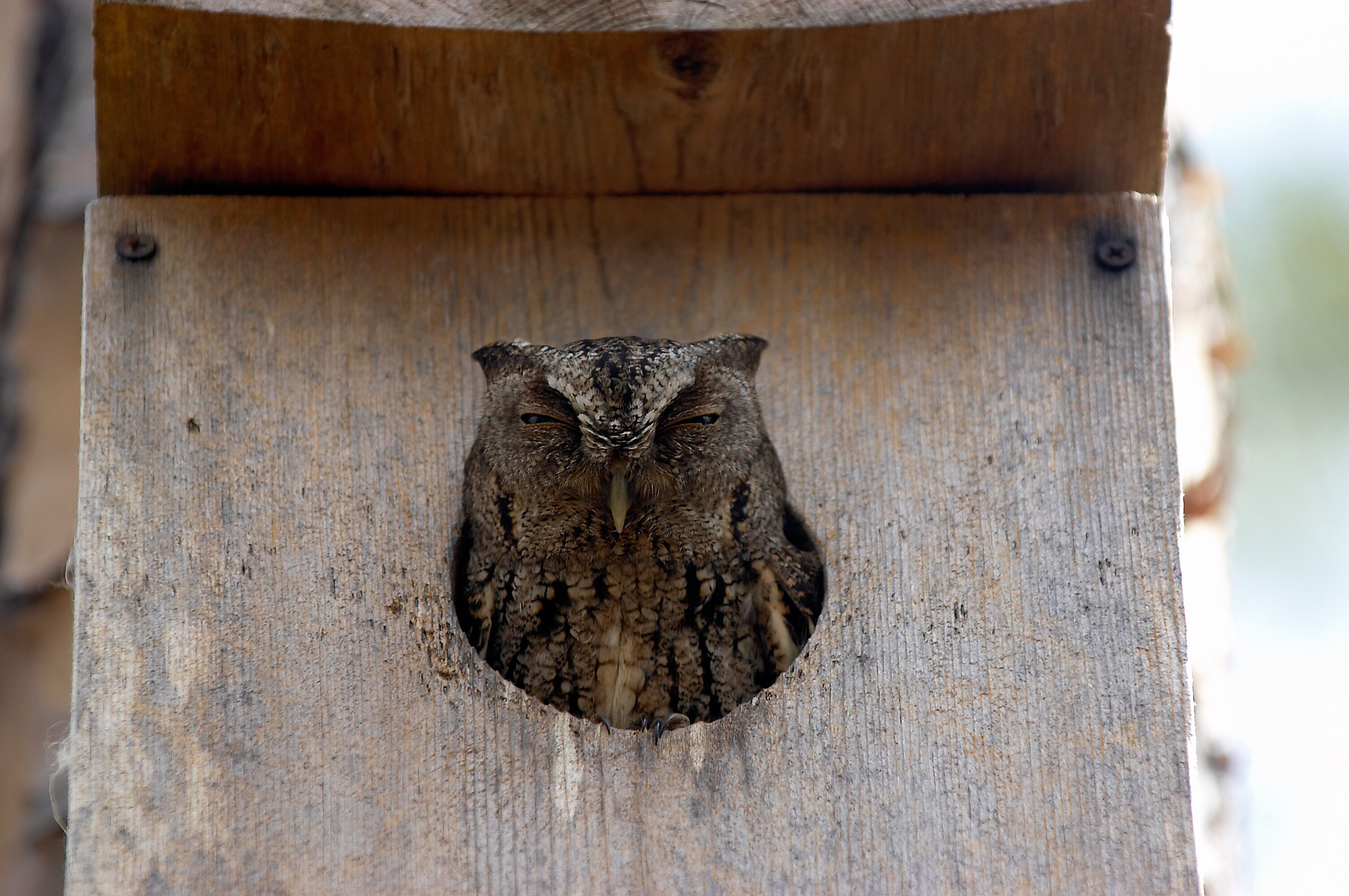 Owl in nest box