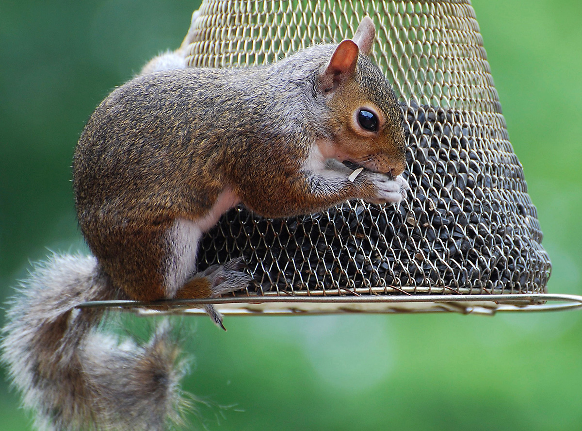 what to feed squirrels no-no feeder seed