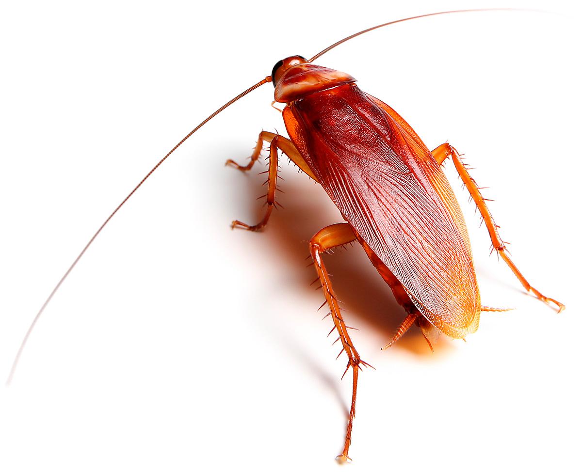 Common Cockroaches