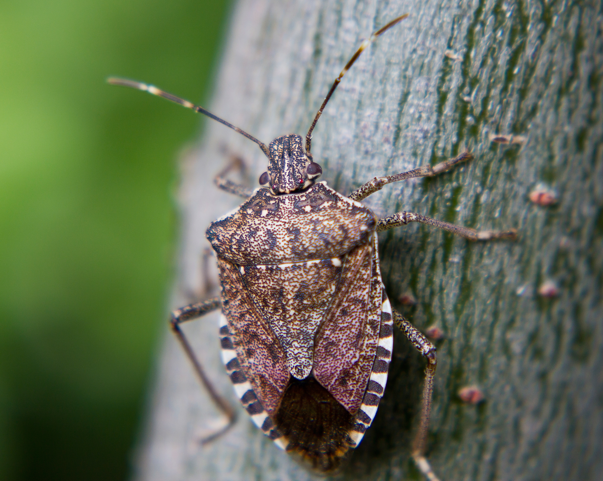 brown marmorated stink bug facts information terro. Black Bedroom Furniture Sets. Home Design Ideas