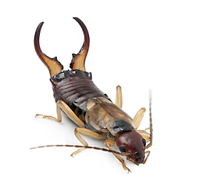 What are Earwigs