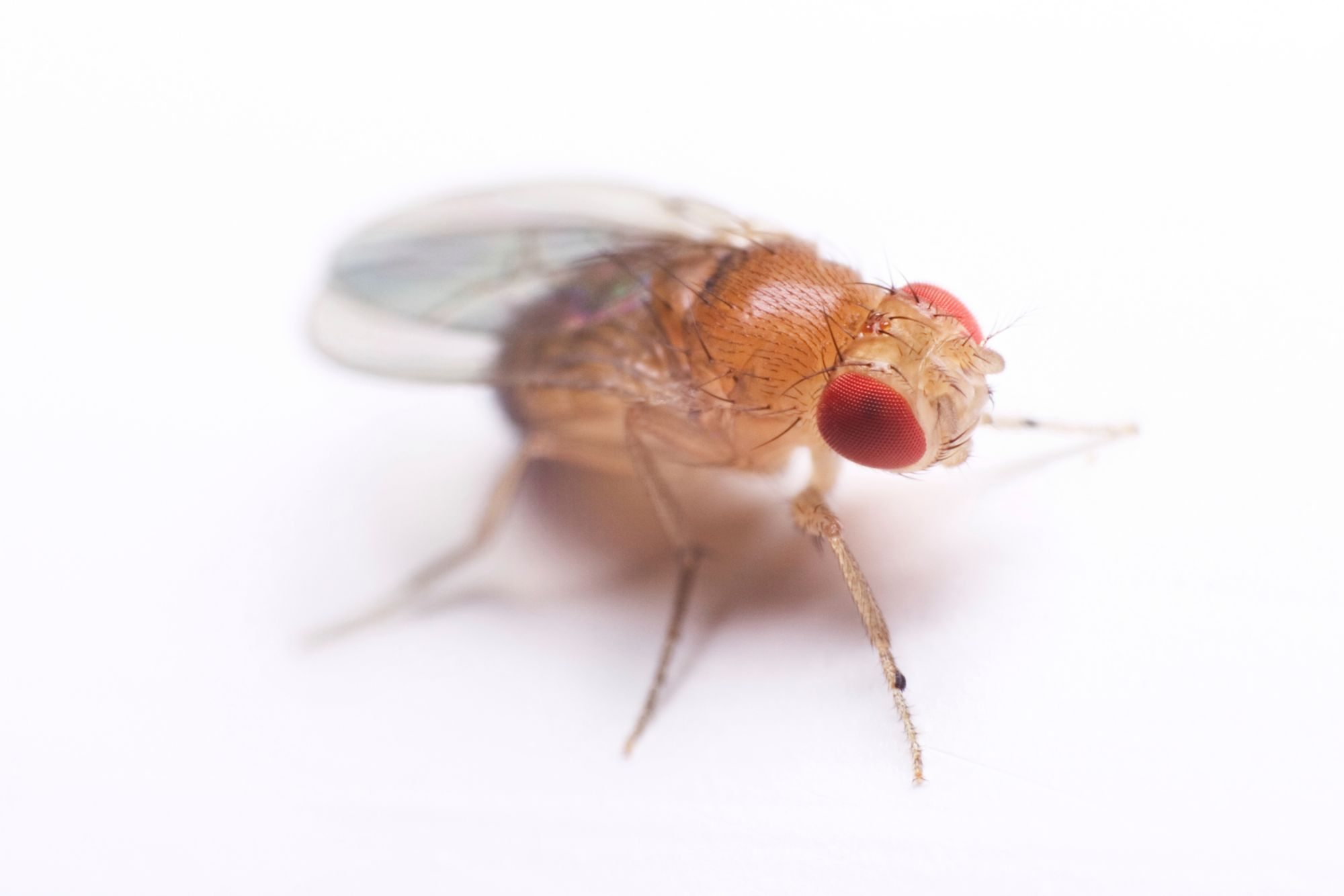 fruit fly Fruit flies publications caribbean fruit fly, anastrepha suspensa (loew) (insecta: diptera: tephritidae) estimated costs and regional economic impacts of the oriental fruit fly (bactrocera dorsalis) outbreak in miami-dade county, florida.