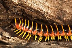 apheloria virginiensis millipede